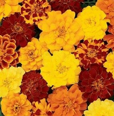 Marigold Durango Mix -  French type 50 de-tailed seeds - Annuals