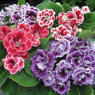 Gloxinia F1 Brocade Double Mix - 25 Pelleted seeds