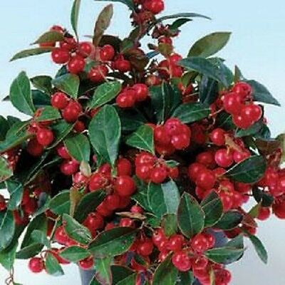 Gaultheria procumbens Very berry - Wintergreen - 20 seeds - Shrub