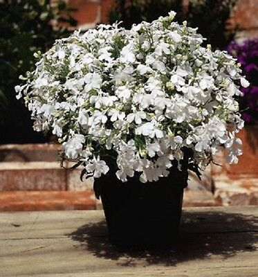 Lobelia Riviera White - Appx 3000 seeds - Bedding plant - Annuals