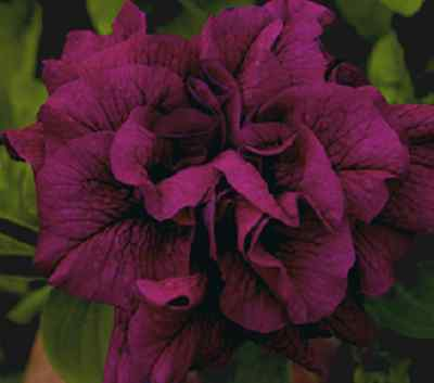 Petunia Grandiflora F1 Double Duo Burgundy  - 30 Pelleted seeds - Annual