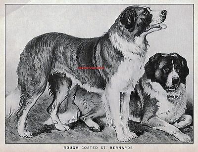 Vintage ANTIQUE Dog Engraving Print 1881 Saint Bernard St. Rough Coated
