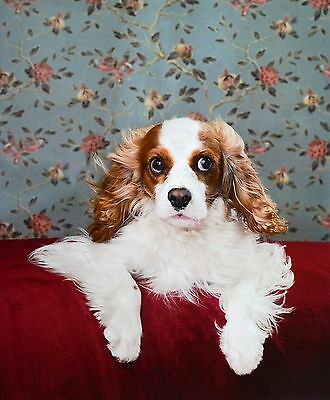 Catherine Ledner - Django, Cavalier King Charles Spaniel, Kunstdruck Photo 50x60