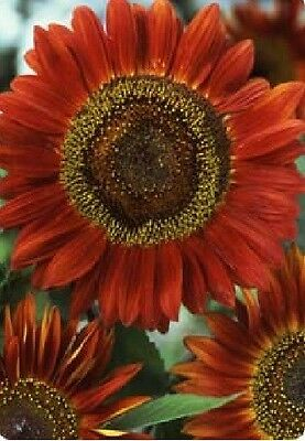 Flower - Sunflower - Red Sun - 100 Seeds