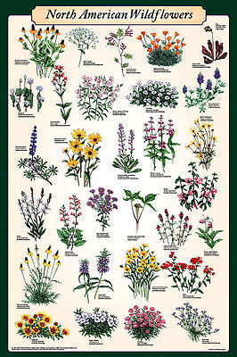 American Wild Flowers (Laminated) Poster (61X91Cm) Educational Chart New Art
