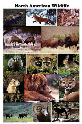 North American Wildlife (LAMINATED) POSTER (61x91cm) Educational Chart New