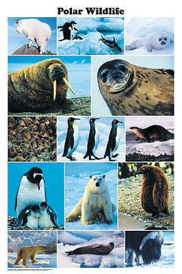 Polar Wildlife (LAMINATED) POSTER (61x91cm) Penguin Otter Educational Chart New