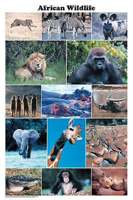 African Wildlife (LAMINATED) POSTER (61x91cm) Lion Giraffe Educational Chart New