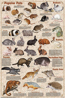 Popular Pets (LAMINATED) POSTER (61x91cm) Rabbit Mouse Ferret Educational Chart