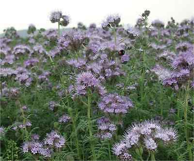 Phacelia tanacetifolia -1000 seeds(approx) - Flowers loved by Bees