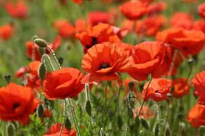 Papaver rhoeas - Red Common Cornfield Poppy - approx 14000 seeds.