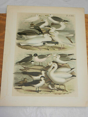 1878 Antique STUDER COLOR BIRD Print/GULL, TERN, SANDPIPER, JAEGER, 20 types