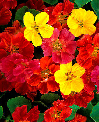 Nasturtium Jewel mixed - Tropaeolum - Appx 150 seeds - HH Annual