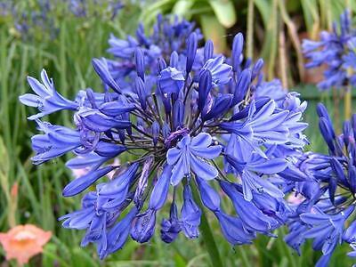 Agapanthus Inapertus, Drooping Lily of the Nile, 6 Seeds Ships From The USA