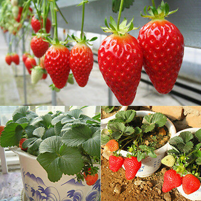 Lots 100pcs Climbing Enduring Red Strawberry Seeds Four Season Fruits Gardening