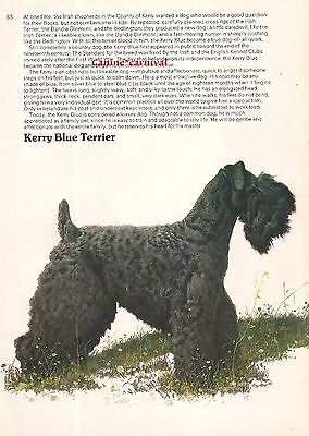 KERRY BLUE TERRIER  1970'S  Dog Breed ART AND BREED Description