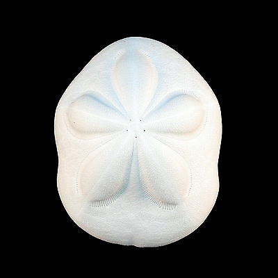 """ONE Giant White Sea Biscuit 4-5"""" Shell Sand Dollar Beach Wedding Craft Decor"""