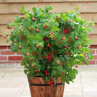Raspberry Ruby Beauty Compact Patio Fruit Bush in a 2L to Grow Your Own