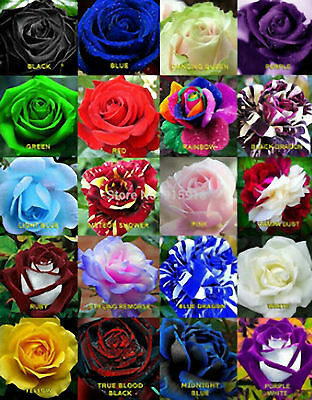 50 +  Rare Multi Colors  Rose Seeds  Flowers Garden Rainbow Black Red Green UK