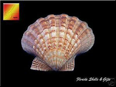 "Large Lions Paw Scallop 5-6"" Seashell for Baking Smudging Crafts Beach Decor"
