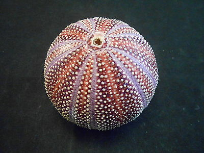 "Large Red English Channel Sea Urchin Shell Beautiful Nautical Decor 4"" and up"