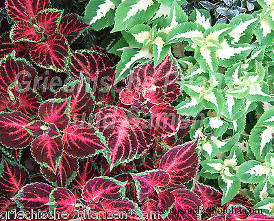 Buntnessel Coleus colourful mixture 100 Seeds great House plant Bedding and