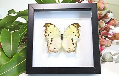 Shadow box Framed butterfly insect collection for sale Salamis Parhassus BASP