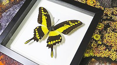 Real Framed shadowbox butterfly collection for sale Papilio thoas BCPTM