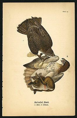 RED-TAIL HAWK, Vintage 1890 Chromolithograph, Color Bird Print Antique, 015