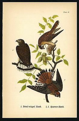 SPARROW HAWK, Vintage 1890 Chromolithograph, Color Bird Print Antique, 016