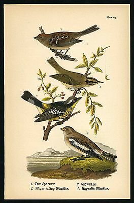 SPARROW, WARBLER, Vintage 1890 Chromolithograph, Color Bird Print Antique, 094