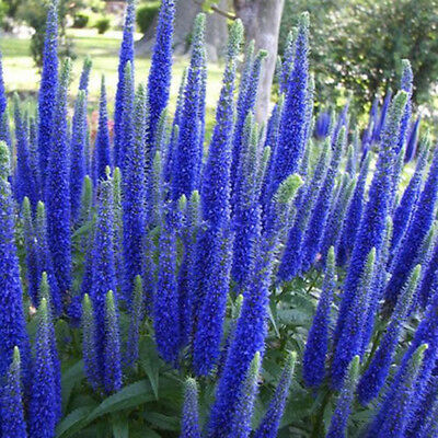 400pcs Multi-color Speedwell Flower Seeds Perennial Easy Ground Cover