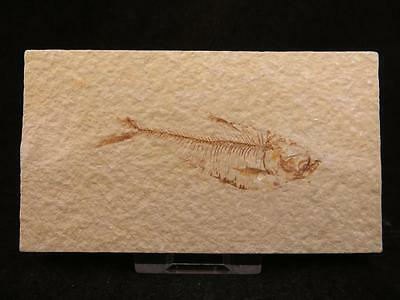 S.V.F - Fossilised Fish, Diplomystus - 50 Million Years old, Wyoming USA