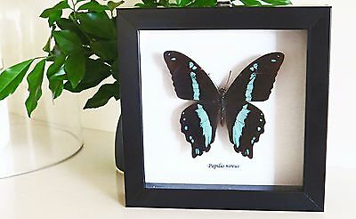 Entomology decor real insect specimencollectibles Papilio nireus butterfly BAPNi
