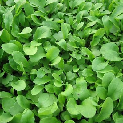 ARUGULA ROQUETTE 2000+ Heirloom Vegetable Seeds Butterhead Soup Greens