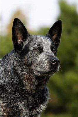 NEW The Australian Cattle Dog Journal: 150 page notebook/diary by Dog Breeds