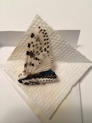 Unmounted Moth! Giant Leopard Moth Male  !ex-Pupae! A-1