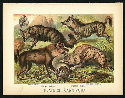 AARD WOLF, BROWN HYENA, Vintage 1897 Chromolithograph Print, Antique, 013