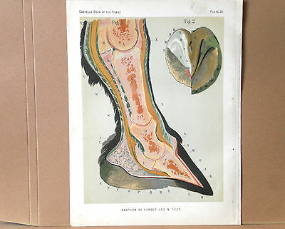 1876 Antique HORSE LEG & FOOT ANATOMY Print - Cassell's Chromolithograph