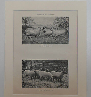 1890 Antique Print BREEDS of SHEEP Oxfordshire & Suffolk Mounted Lithograph VGC