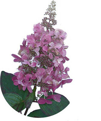 hortensie rispenhortensie pinky winky hydrangea paniculata. Black Bedroom Furniture Sets. Home Design Ideas