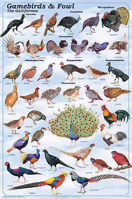 (LAMINATED) GAMEBIRD & FOWL POSTER (61x91cm) EDUCATIONAL WALL CHART PICTURE ART