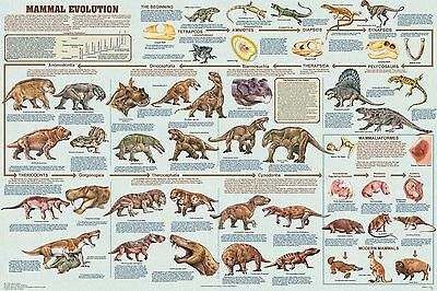Mammal Evolution Poster (61X91Cm) Educational Wall Chart Picture Print New Art