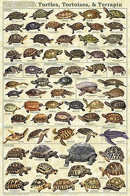 (LAMINATED) TURTLES TORTOISE & TERRAPIN POSTER (61x91cm) EDUCATIONAL WALL CHART