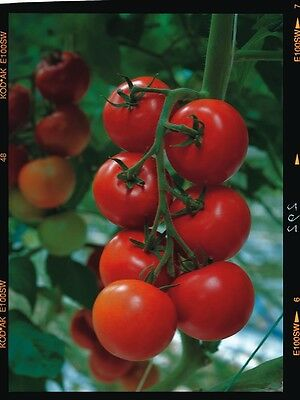 Vegetable - Tomato - Shirley F1 - 25 Seeds - Large