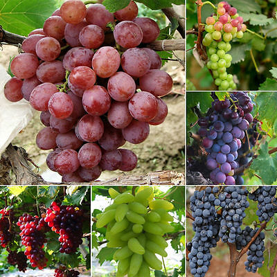 50pcs Mixed Grape Seeds Vinifera Delicious Fresh Fruit Bulk Garden Seeds