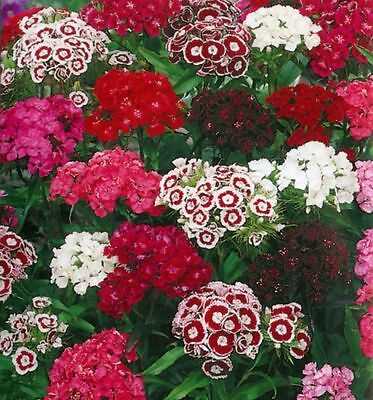 Dianthus Barbatus - Sweet William - Tall single mix  Appx 300 seeds - Annuals
