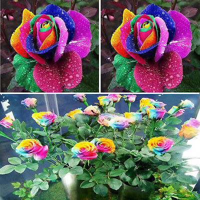200 Multi-Color Beautiful Colorful Rainbow Rose Flower Seeds Yard Garden Plant