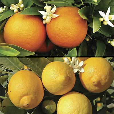 Pair of Large Orange and Lemon Trees in 6.5L pots with FREE 150g Citrus Feed