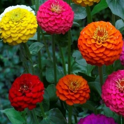 Zinnia elegans - Lilliput mix - Appx 360 seeds - Annuals